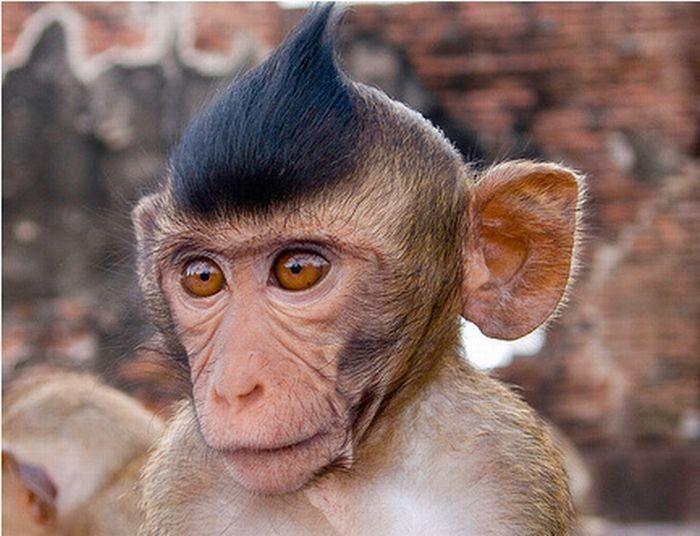 monkeys-with-iroquois-002.jpg