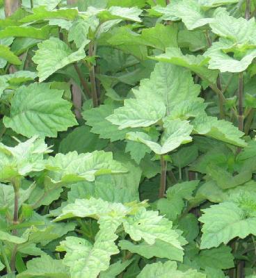 Berdasarkan penemuan baru yang dilakukan oleh ilmuwan Kanada, tanaman