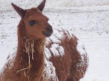 Our alpaca named Flocka