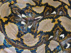 Captive Python 2007