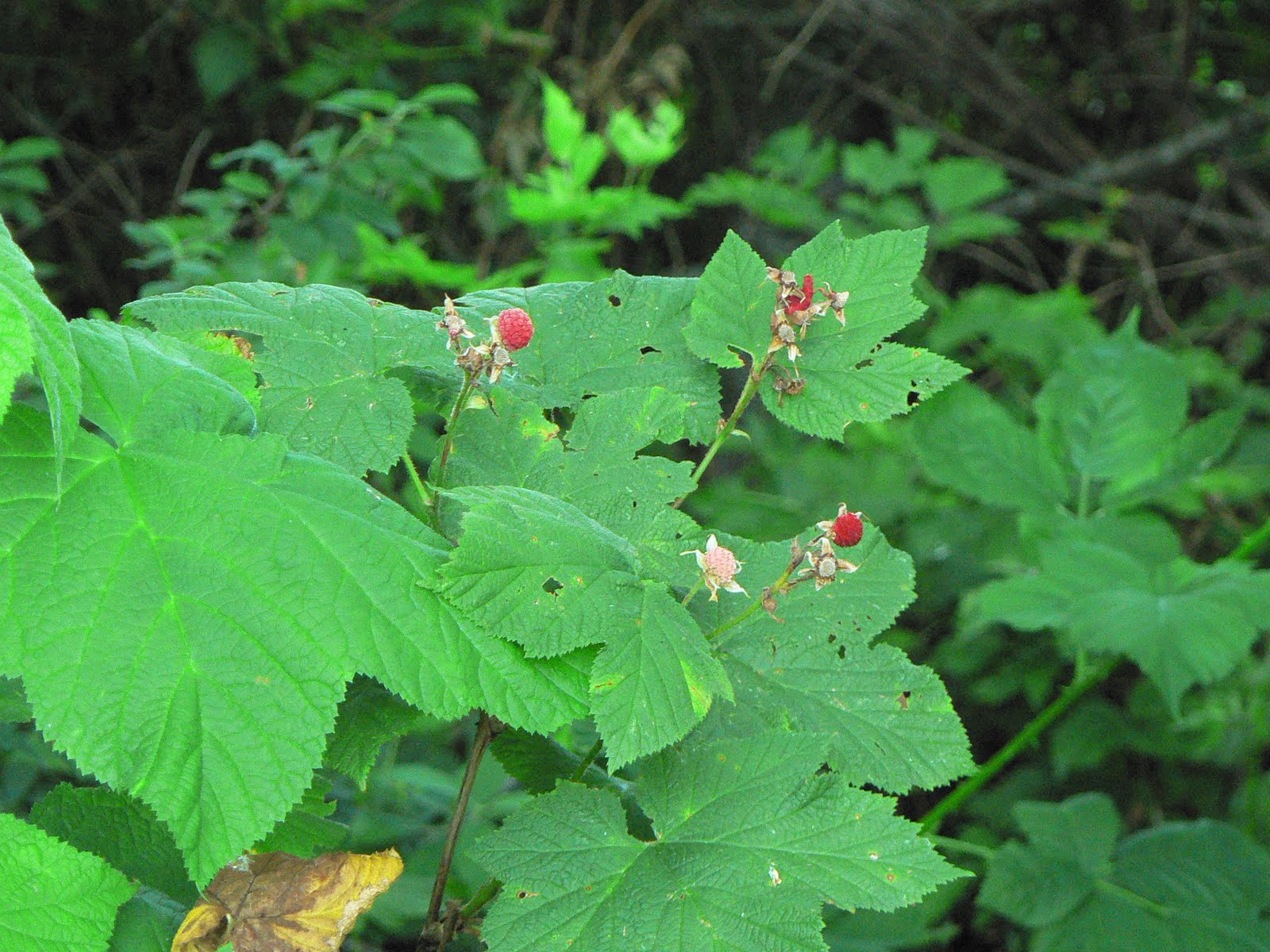 Laura's Blog: Wild Berries in the Puget Sound ...