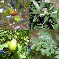 Chêne-Quercus