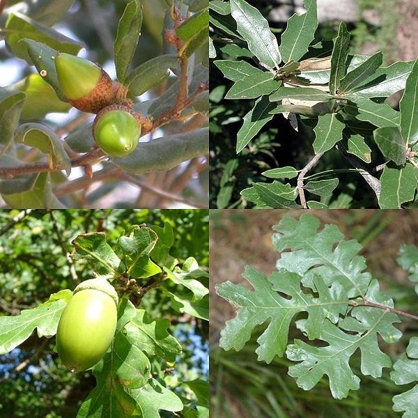 LE CHENE-Quercus-PHYTOTHERAPIE-HOMEOPATHIE-MEDECINE NATURELLE