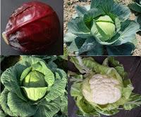 chou, Brassica oleracea