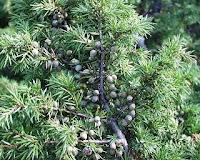 genièvre ou genévrier commun (Juniperus communis  L