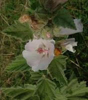 guimauve officinale-Althaea officinalis