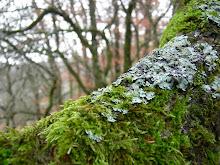 Muschio di Foresta