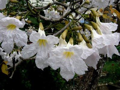 Flower, Tree, Penang, Pisa