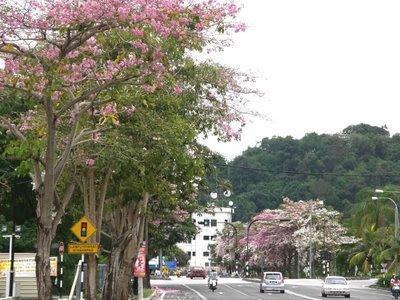 Flower Tree Penang Pisa