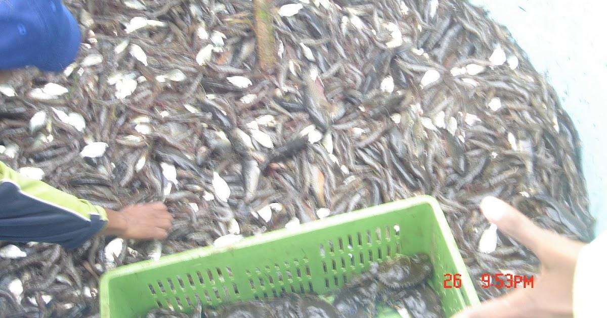 Cria y engorde de tilapia y camaron cosecha de camarones for Crianza de camarones