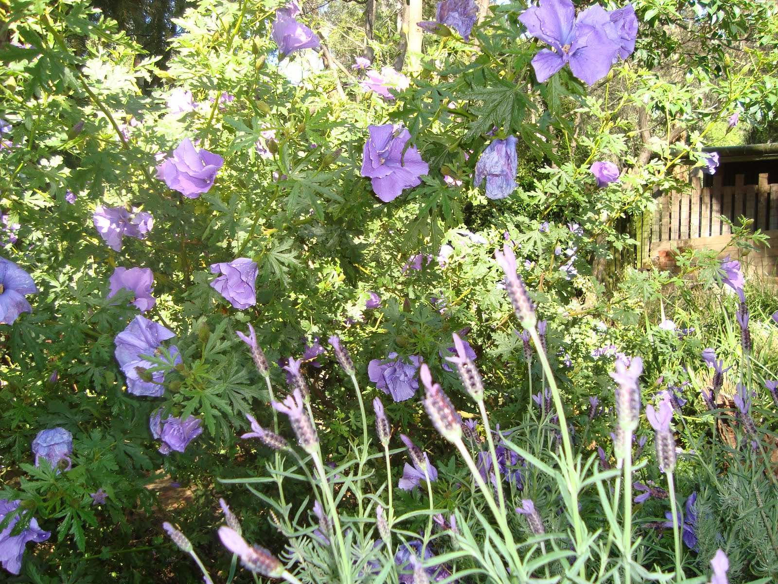 Purple Hibiscus Backyard Snob : THESE TWO PLANTS (NATIVE HIBISCUS) AND LAVENDER ARE GROWING PROFUSELY