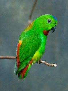... Puling Serindit Tanau: Galeri Gambar-Gambar Burung