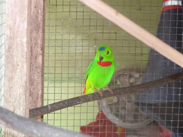 gambar burung - gambar burung serindit