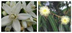 Flor de Laranjeira e Flor de Eucalipto
