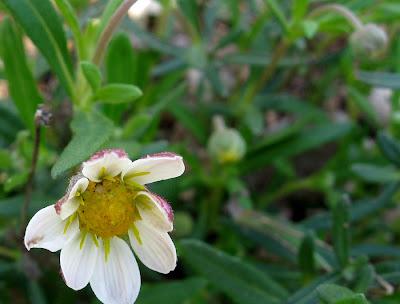 Annieinaustin, blackfoot daisies