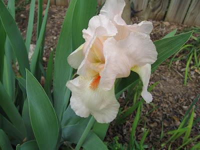 Annieinaustin, pale peach iris