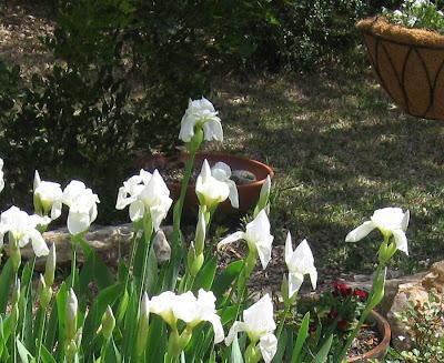 Annieinaustin, white iris