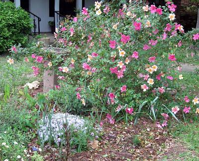 Annieinaustin, mutabilis rose & phlox subulata