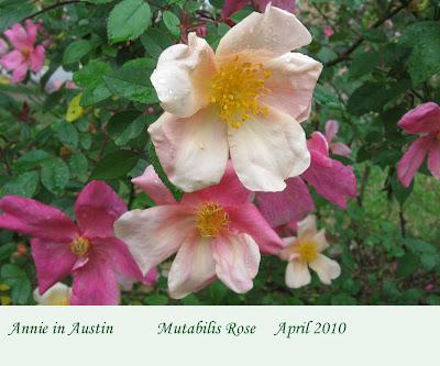 annieinaustin, mutabilis rose closeup
