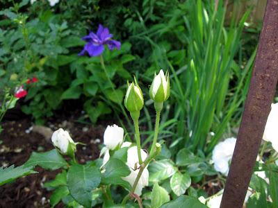 Annieinaustin, Climbing Iceberg Rose w Siberian Iris