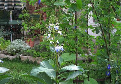 Annieinaustin,clereodendron ugandense, Clitoria ternatea