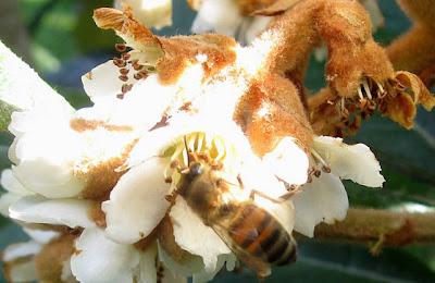 Loquat flower,bee,AnnieinAustin