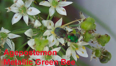 Annieinaustin, metallic green bee