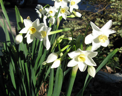 January narcissus, Annieinaustin