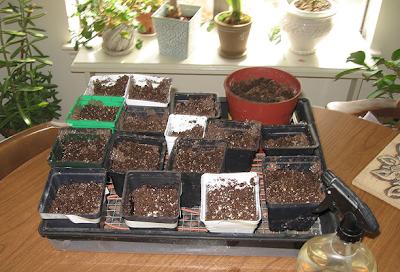 Seed starting tray, Annieinaustin