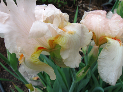 Annieinaustin, rained on peach iris