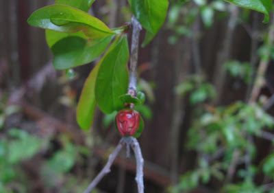 Annieinaustin, Pomegranate bud