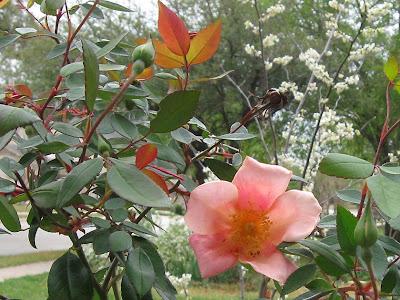 Annieinaustin, Mutabilis rose & Whitebud
