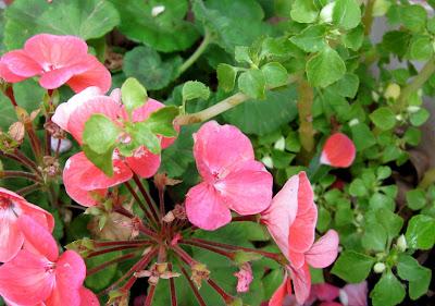 Annieinaustin,geraniums & impatiens