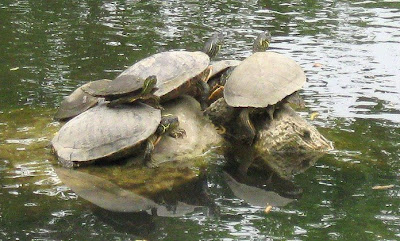 Annieinaustin,Turtles on Lady Bird Lake