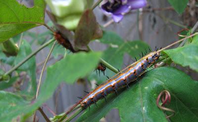 Annieinaustin, gulf frit larva