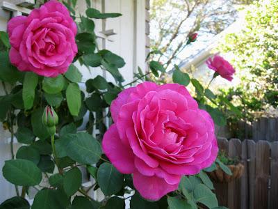 Annieinaustin, pink climbing rose