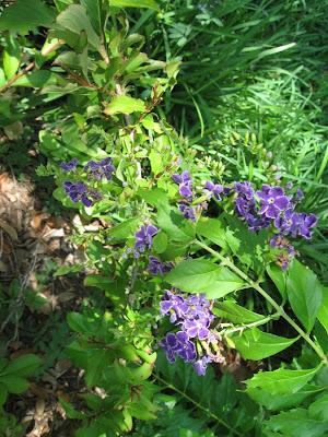 Annieinaustin, Duranta blooming