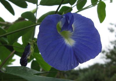 Annieinaustin, Blue Butterfly Pea