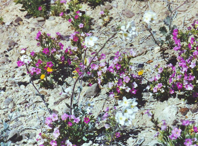 Annieinaustin, Big Bend in bloom