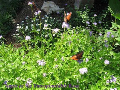 Annieinaustin,butterflies on mistflower