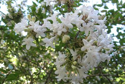 Annieinaustin,Abelia blossoms