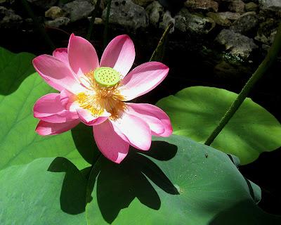 annieinaustin, pond 4 pink lotus 2