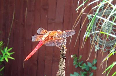 Annieinaustin, pond 5, red dragonfly close