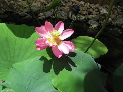 annieinaustin, pond 4 pink lotus 1