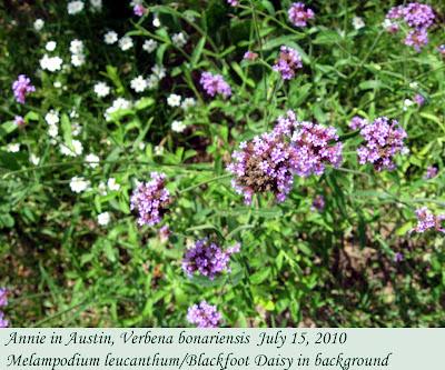 Annieinaustin, Verbena bonariensis