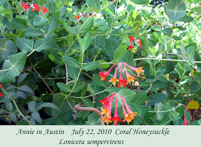 Annieinaustin, coral honeysuckle July 2010