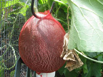 Annieinaustin, melon reticulating