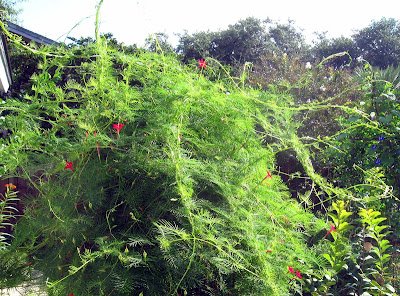 Annieinaustin,cypress vine out of control