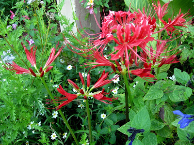 Annieinaustin, Red Spider Lily in butterfly garden