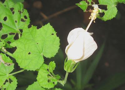 annieinaustin, white turkscap
